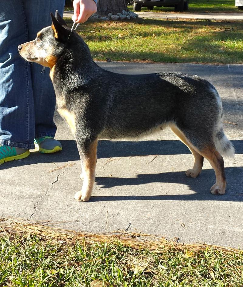 Australian Cattle Dog Texas, Blue Heeler