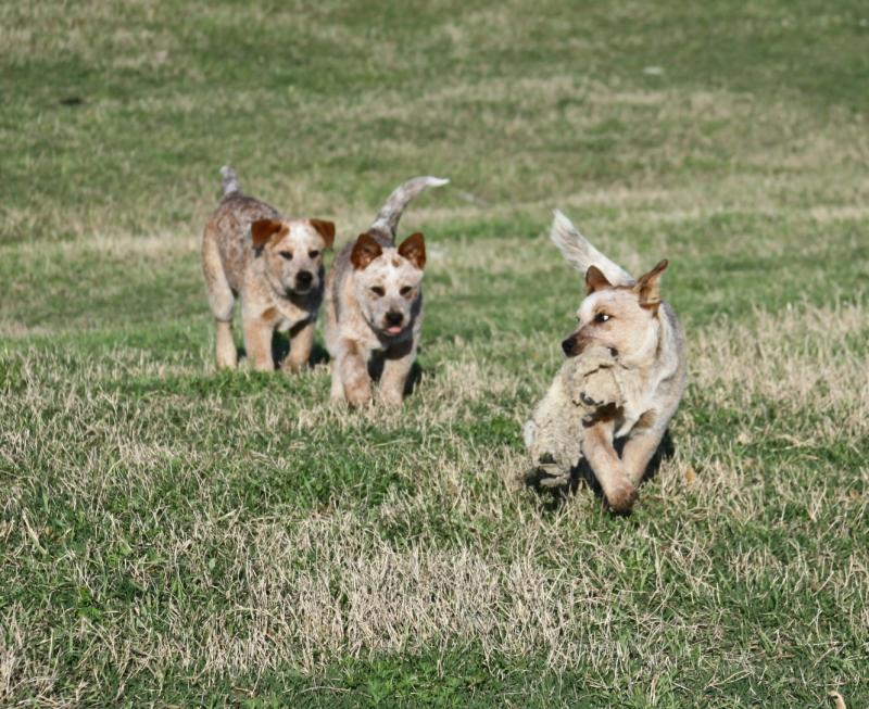 Blue heelers for sale, australian cattle dogs for sale